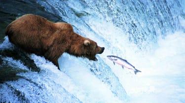 A bear eats a fish that's swimming upstream