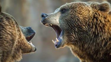 Brown bear, European bear. Ursus arctos.