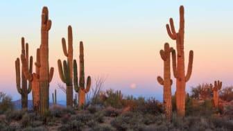 Cactus in the desert in Arizona
