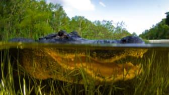 American Alligator, Alligator mississipiensis, Split over and under water shot, Florida Everglades