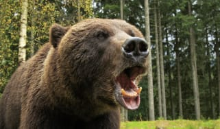 Furious wild bear in the wood roars showing his teeth