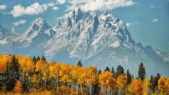 Aspen grove in fall colors with snow covered mountains in the background, Grand Teton National Park, Wyoming