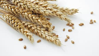 Wheat against a white background.