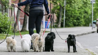 STOCKHOLM, SWEDEN May 23, 2017 Professional dog walker on the street in Hagersten.