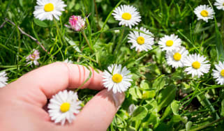 A closeup of fingers picking one tiny daisy from many.