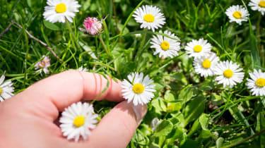 A closeup of fingers picking one tiny daisy from many.