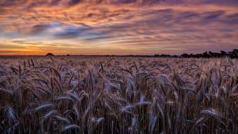 wheatfield in Kansas