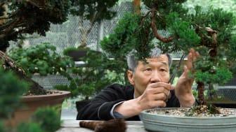 Senior working on a bonsai tree as a hobby