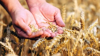 A person puts their hands through fresh grains