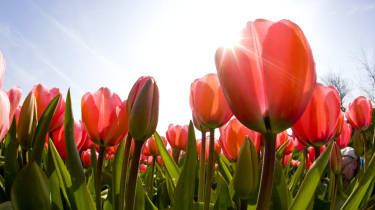 Looking up into the sun and tulips from below