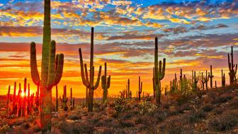 Dozens of cactus seen in an Arizona desert at sunset