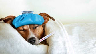 A sick but still adorable dog with a thermometer in his mouth.