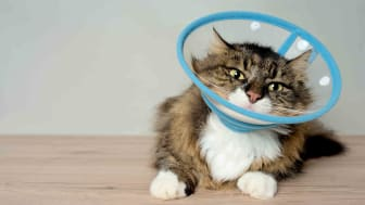 Brown, fluffy cat with cone around neck