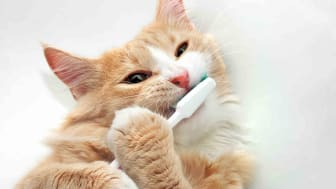 Orange and white cat holding a toothbrush