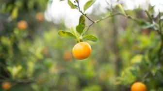 photo of oranges on tree