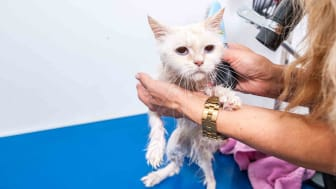 White cat getting shampooed at groomers