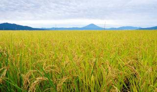 A picture of a successful crop of corn.