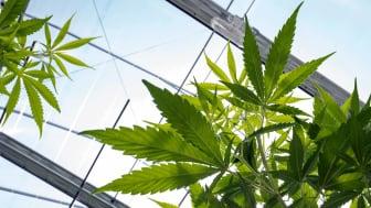 Marijuana in a growing facility