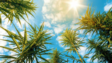Cannabis plants pictured against a partly cloudy sky
