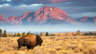 picture of buffalo in Wyoming with mountains in background