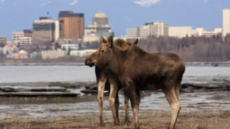 Moose checking out downtown Anchorage
