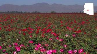 A field of flowers in El Mirage, Ariz.