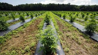 A marijuana growing field