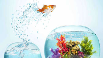 A goldfish jumps from one fishbowl to another