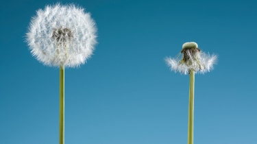 A dandelion that's full, and one that's been blown away.