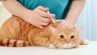 Veterinarian giving vaccine to orange tabby cat