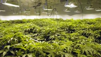 Hydroponic marijuana growth
