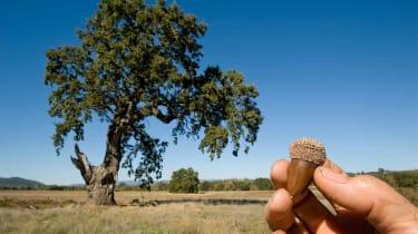 A hand holding an acorn near a giant oak tree