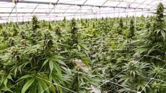 A greenhouse used to grow marijuana plants