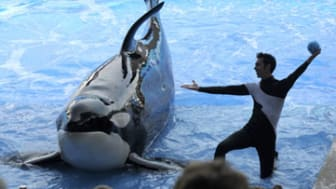 In aMarch 7, 2011 photo, trainer Joe Sanchez, right, works with killer whale Kayla during the Believe show in Shamu Stadium at the SeaWorld Orlando theme park in Orlando, Fla.SeaWorld's three