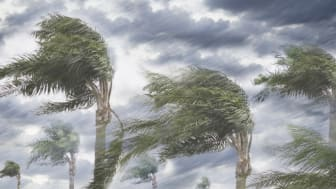 Palm trees being blown by hurricane winds.