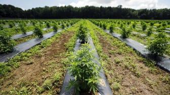 Marijuana stocks growing