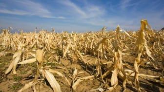 Photo of drought-stricken corn