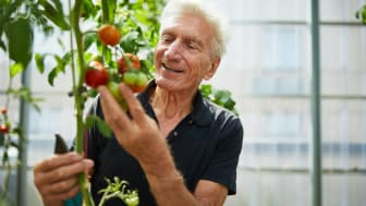 A man picking some tomatoes