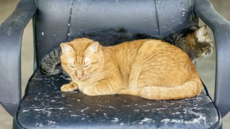 Orange tabby sitting in tattered leather office chair