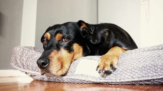 Dog lying on a dog bed looking at the camera