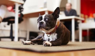 Portrait of curious dog lying on rugin an office