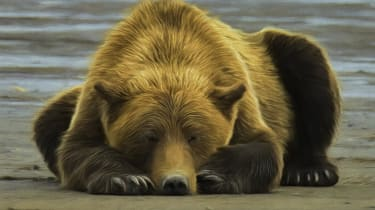 Grizzly Bear Sleeping on the Beach.Textures and filters have been applied to the original image to give it a painterly effect.