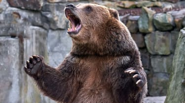 Brown grizzly bear. widely open mouth.