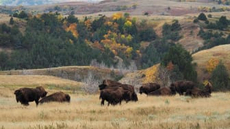 American Bison grazing on the prairie