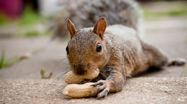 A squirrel with a nut in its mouth clutches another nut in its hand.