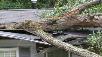 Large white oak tree punctures roof on house