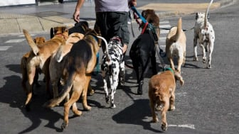 picture of dog walker with a lot of dogs
