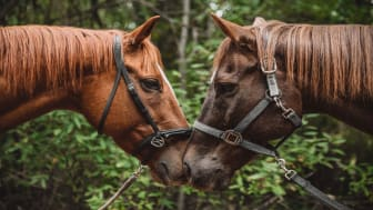 picture of two horses rubbing noses