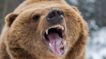 Closeup brown bear roaring in winter forest
