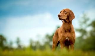 A beautiful Vizsla dog stands in grass and looks to the side.